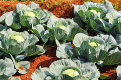Closeup of Cabbage plantation in India Stock Image