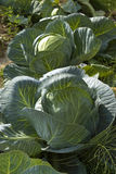 Closeup cabbages in white cabbage field Stock Photos
