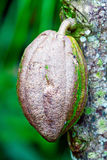 Closeup of Cacao Bean from Chocolate Tree Stock Photography