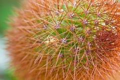 Closeup Cactus Royalty Free Stock Photo