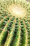 Closeup of cactus. Closeup of Australian thorny cactus Stock Photos