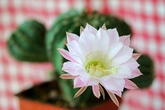 Closeup of Cactus Flower. (Echinopsis eyriesii) on a red gingham background Stock Photo