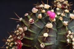 Closeup cactus Stock Photography