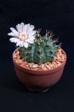 Closeup cactus  in pot. Blooming flower of cactus isolated on black background Royalty Free Stock Photo