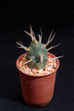 Closeup cactus in pot. Cactus isolated on black background Royalty Free Stock Photography