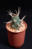 Closeup cactus in pot. Cactus isolated on black background Stock Image