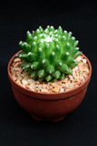 Closeup cactus in pot. Cactus isolated on black background Stock Photos
