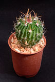 Closeup cactus in pot. Cactus isolated on black background Royalty Free Stock Image