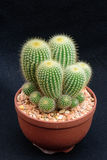 Closeup cactus in pot. Cactus isolated on black background Royalty Free Stock Images