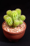 Closeup cactus in pot. Cactus isolated on black background Stock Photography