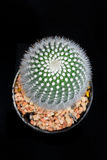 Closeup cactus in pot. Cactus isolated on black background Royalty Free Stock Photo