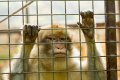 Closeup of caged Monkey with sad looking Stock Image
