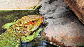 Closeup of a Caiman Lizard Royalty Free Stock Image