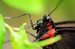Closeup of a Cairns Birdwing Butterfly Royalty Free Stock Photo