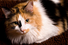 Closeup of Calico Cat. A sharp, detailed closeup of a beautiful female calico cat looking at you stock image