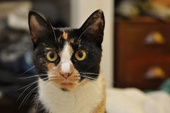 Closeup of a Calico Cat. Close-up image of a calico cat making eye contact with me royalty free stock image