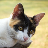 Closeup calico cat. Royalty Free Stock Photo
