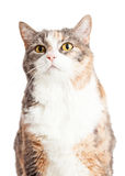 Closeup Calico Cat Looking Up Stock Photos