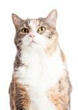 Closeup Calico Cat Looking Up Stock Photos