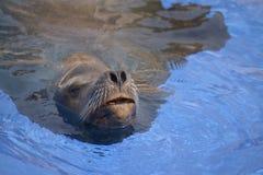 Closeup California Sea Lion swimming Royalty Free Stock Image