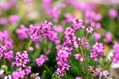 Closeup of Calluna vulgaris, Spring Torch. Closeup of Calluna Vulgaris or spring heather in the morning. This heather is one of the best for a stunning colorful stock images