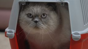 Closeup of calm cat sitting comfortably in carrier, safe pet travel kennel stock video