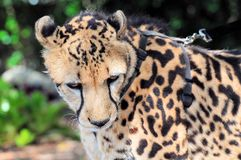 Closeup of calm cheetah Royalty Free Stock Image