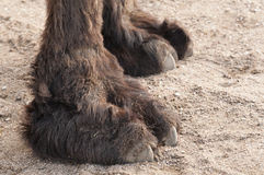 Closeup of a camel Stock Photo