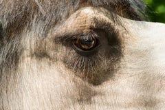 Closeup of a camel eye Royalty Free Stock Photography