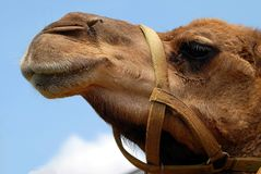 Camel face closeup. Closeup of a camel face in profile against a blue sky Royalty Free Stock Images