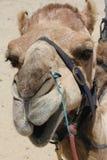 Closeup of Camel Head Stock Photo