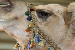 Closeup of a Camel's Eye Royalty Free Stock Photos