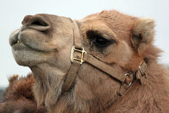 Closeup of a Camel Royalty Free Stock Images