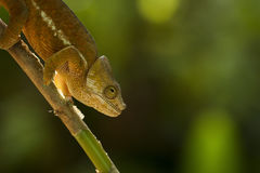 Closeup of a cameleon in his natural habitat, Madagascar Royalty Free Stock Image