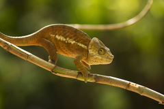 Closeup of a cameleon in his natural habitat, Madagascar Stock Photos