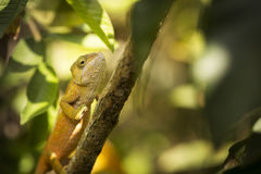 Closeup of a cameleon in his natural habitat, Madagascar Royalty Free Stock Photos