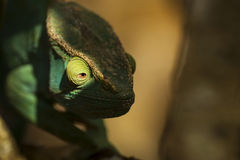 Closeup of a cameleon in his natural habitat, Madagascar Royalty Free Stock Images