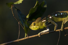 Closeup of a cameleon in his natural habitat, Madagascar. Royalty Free Stock Images