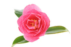 Closeup of camellia Stock Photography