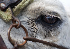 Closeup of Camels Eye. Closeup of Camels Head showing eye open Royalty Free Stock Photos