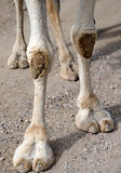 Closeup of Camels Feet. Standing still Royalty Free Stock Photos