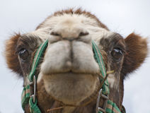 Closeup of Camels Head. Looking at Camera Stock Images