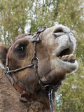 Closeup of Camels Head Royalty Free Stock Photo