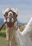 Closeup of Camels Head and Shoulders. Looking at Camera Stock Photos