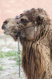 Closeup of Camels Head and Shoulders. From the side Stock Photo
