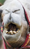 Closeup of Camels Mouth. Closeup of Camels Head with mouth open Royalty Free Stock Photo
