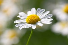 Closeup of camomile flower Royalty Free Stock Photos