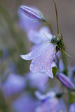Closeup of campanula or bellflowers in water drops after rain Royalty Free Stock Image