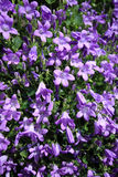 Closeup of Campanula muralis Royalty Free Stock Photos