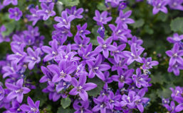Closeup of Campanula plants purple flowering in the garden Stock Photo